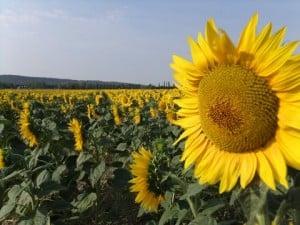 Omri sunflower