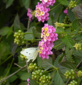 The butterfly who waited patiently for the slowest photographer ever...